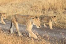 La lionne et ses lionceaux