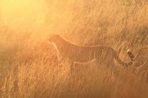 Guépard dans la lumière du soleil levant
