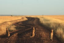 Les 3 guépards