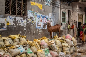 Chèvre dans la rue