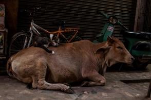 Chien vache