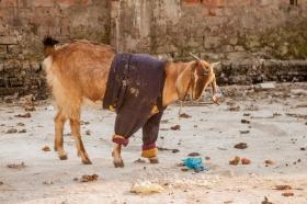 Chèvre avec une veste