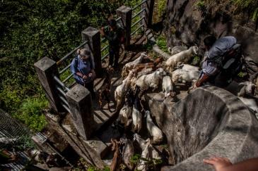 Troupeau de chèvres