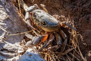 Crabe des montagnes...